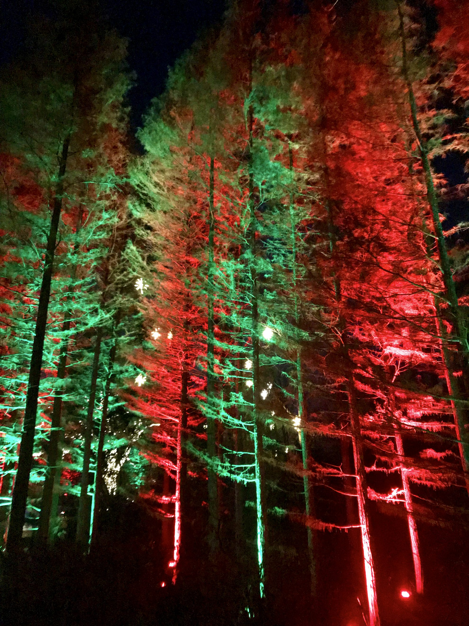 Trees that are backlight with red and green at Longwood Gardens Holiday Lights