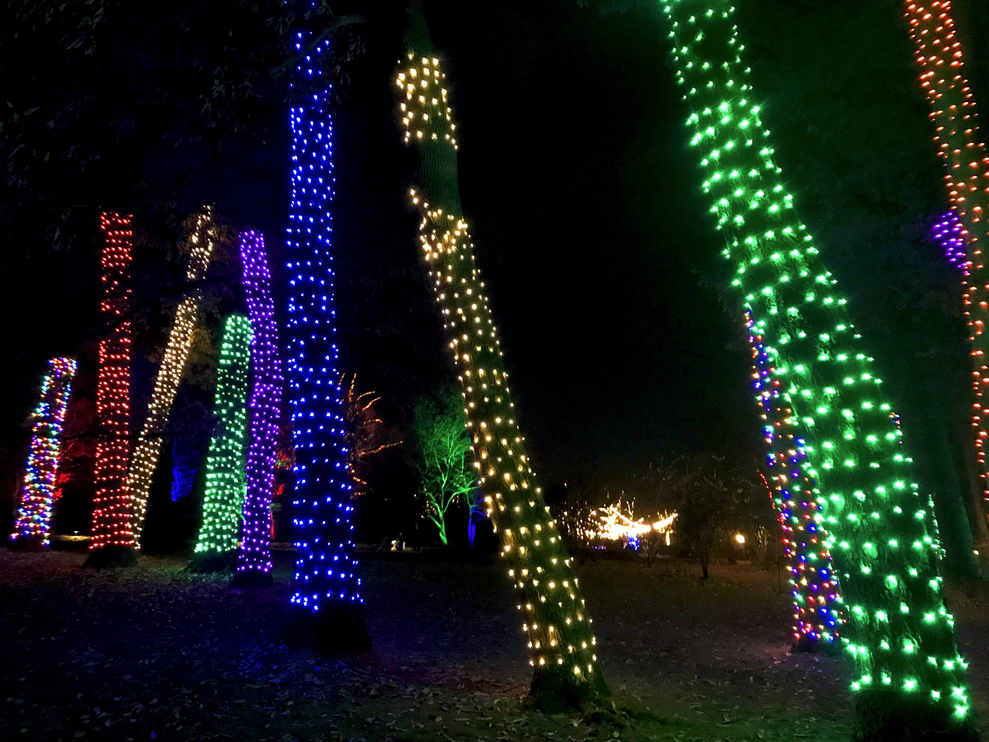 Colorful lighted tree trunks at Longwood Gardens Holiday Lights