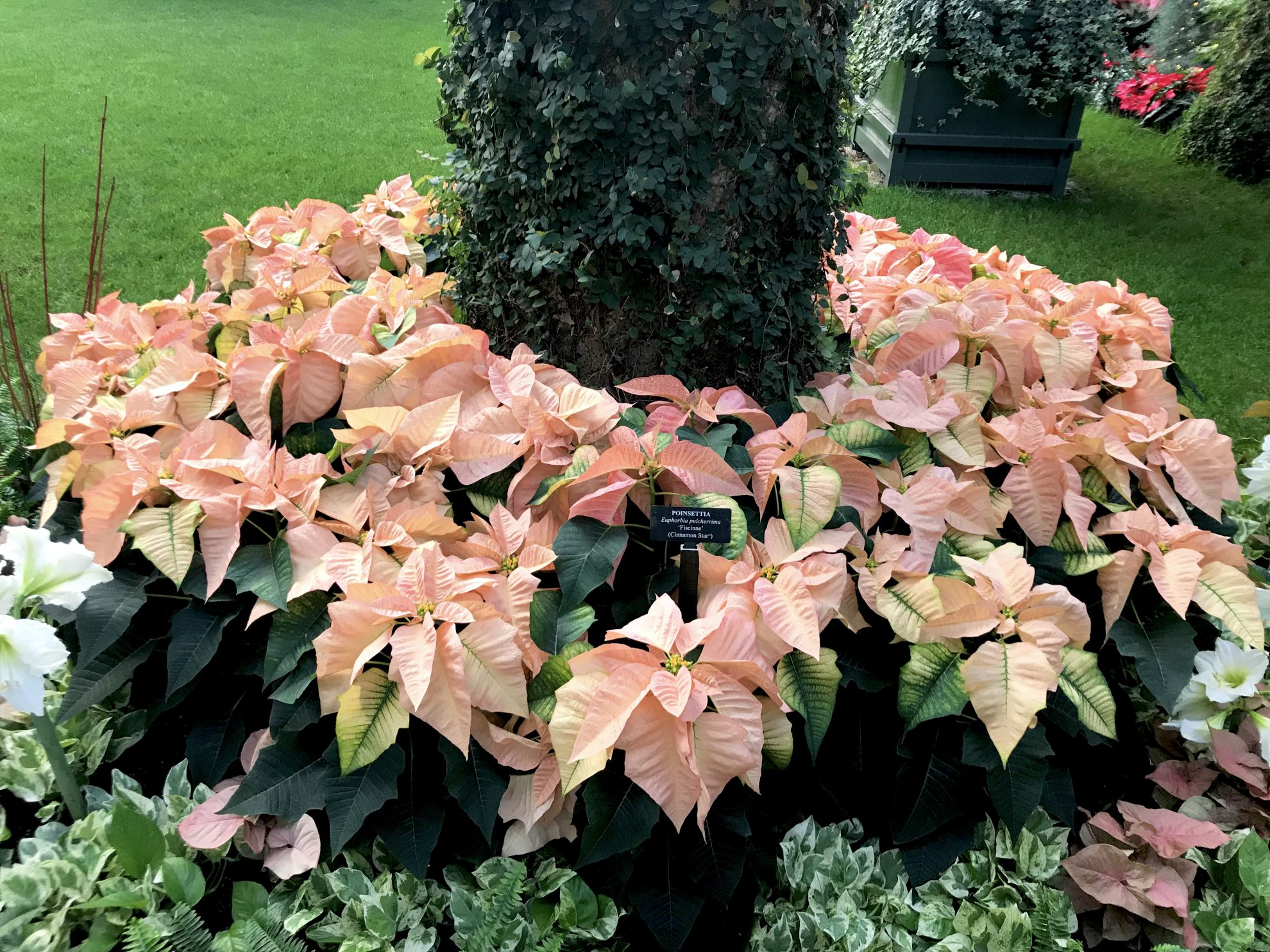Dazzling pink poinsettas at the base of a vine-covered tree at Longwood Gardens Conservatory
